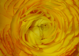 Photo credit: Beatrice Otto - yellow ranunculus