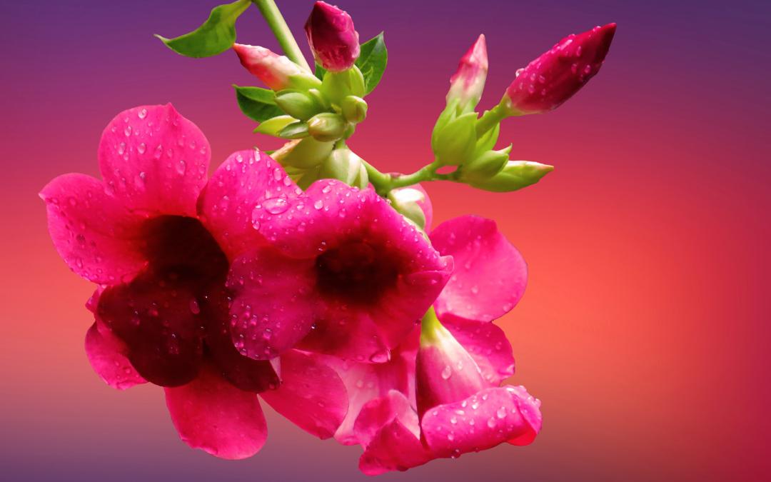 Photo - dipladenia flowers